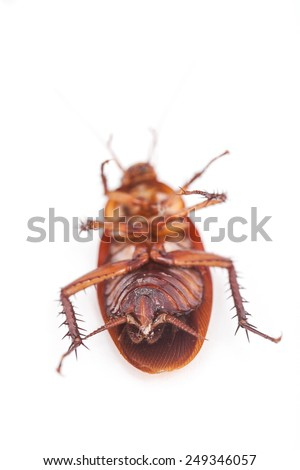 macro of cockroach is dead shoot on white background - stock photo