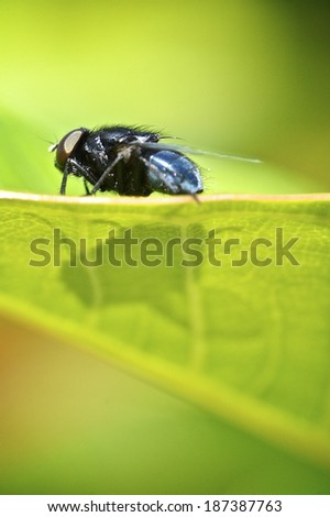 Macro of common Australian fly on green leaf - stock photo