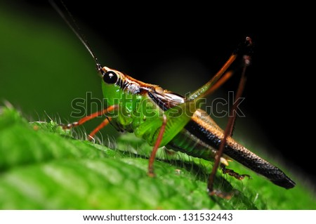 Macro of cricket at night on green leaf - stock photo