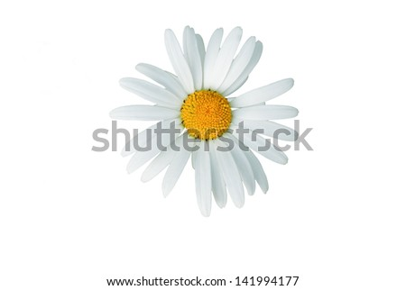 Macro of daisy flower isolated on white  - stock photo