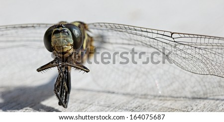 macro of dead dragonfly, focus on head and eyes  - stock photo