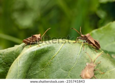 Macro of Dock bugs (Coreus marginatus) stinging sorrel (Rumex) leaf on meadow  - stock photo