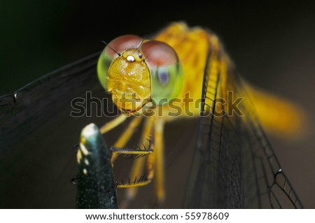 Macro of Dragonfly - stock photo