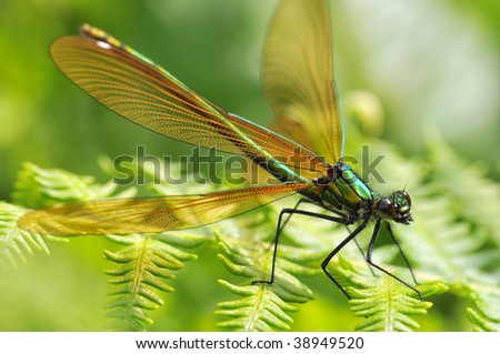 Macro of female damselfly (calopteryx virgo) on leaf fern - stock photo