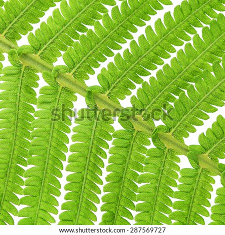 Macro of green fern leave over white - stock photo