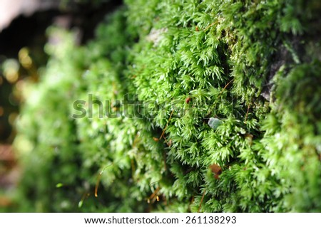 macro of green moss growing on a tree trunk in the forest - stock photo