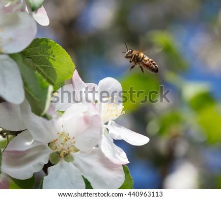 Macro of honeybee (Apis mellifera) landing on flower over apple orchard background - stock photo