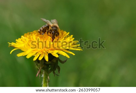 Macro of honeybee (Apis mellifera) pollinating dandelion at spring meadow - stock photo