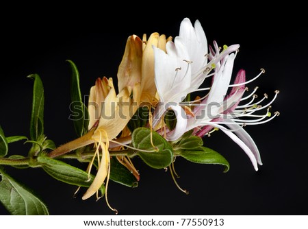 Macro of honeysuckle flowers from a new bud to mature white flowers and old yellow ones.  On black. - stock photo