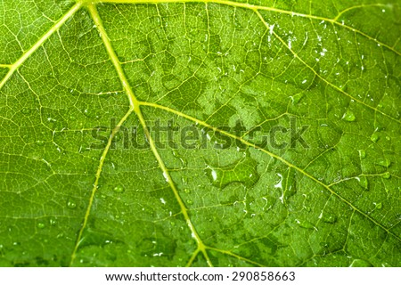 Macro of leaf structure. Drops of rain on the surface. Nature background or wallpaper. - stock photo
