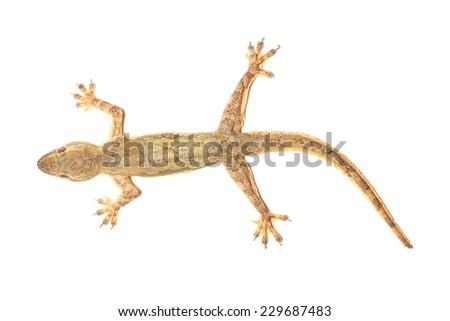 macro of lizard isolated. - stock photo