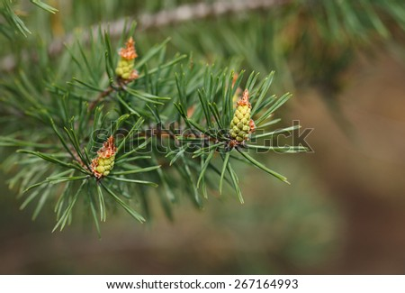 Macro of new green cones on pine twig at spring