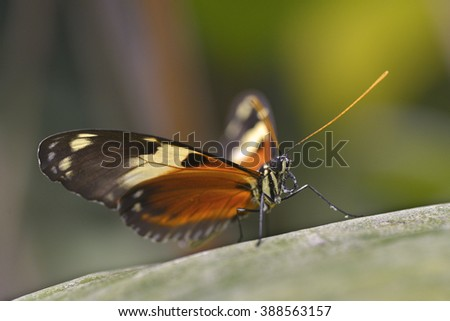 Macro of Nymphalidae butterfly on leaf  - stock photo