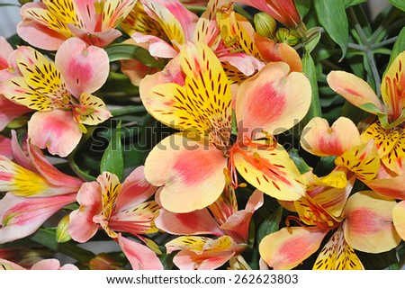 Macro of orange and yellow lily of the Incas (Alstroemeria) in a bouquet of flowers. - stock photo