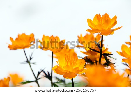 macro of orange globe-flower at the foot of the Ergaki Western Sayan on a sunny summer day - stock photo