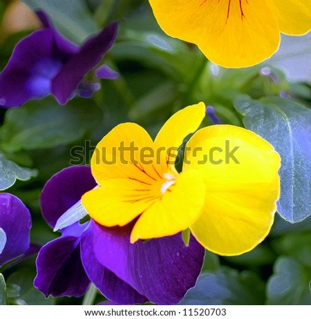 Macro Of Pansies - stock photo