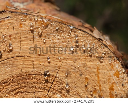 Macro of pine stem cut with resin drops at sunny day - stock photo