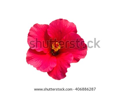 Macro of pink  China Rose flower (Chinese hibiscus, Hibiscus rosa-sinensis , Hawaiian hibiscus , shoe flower ) isolate on white background.Saved with clipping path - stock photo