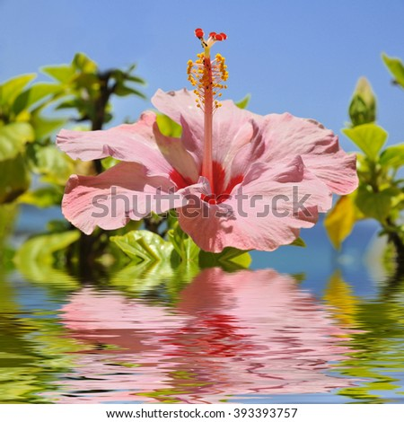 Macro of pink hibiscus flower (Hibiscus rosa-sinensis) above the water with reflection on blue sky background, digital effect - stock photo
