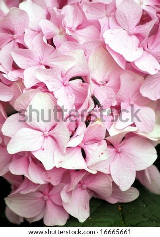 Macro Of Pink Hydrangea - stock photo