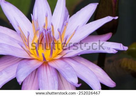 macro of purple lotus Hybrid flower focus on petal - stock photo