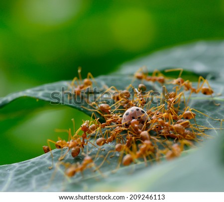 macro of red ant army  are swarming ladybug for food ; selective focus at ladybug with green blur background - stock photo