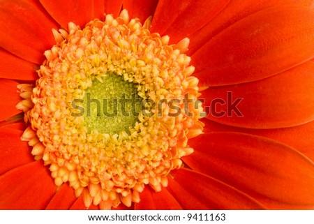 macro of red daisy - stock photo