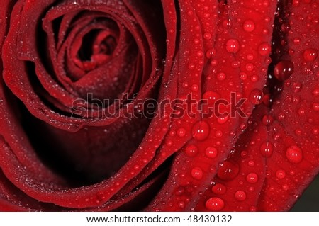 Macro of red rose bloom with water drops. - stock photo