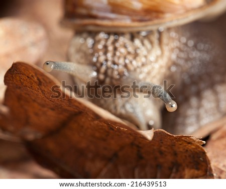 Macro of Roman snail (Helix pomatia) look out of forest leaf litter in autumn  - stock photo