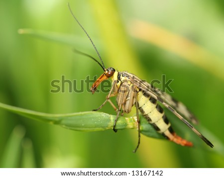 macro of scorpion fly (Panorpa communis Linne) - stock photo