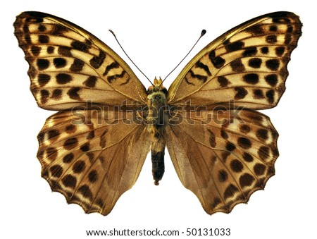 Macro of Silver-washed Fritillary butterfly (Argynnis paphia) isolated on white background - stock photo