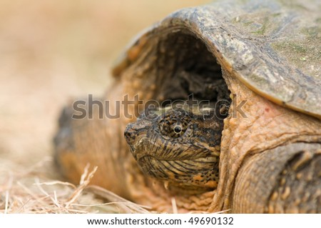 macro of snapping turtle pulling into his shell - stock photo