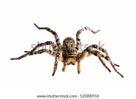 Macro of spider ready for attack, isolated on white - stock photo