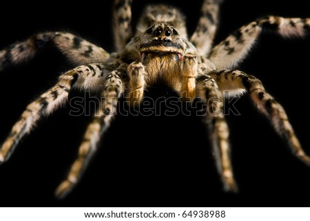 Macro of spider tarantula isolated on black - stock photo
