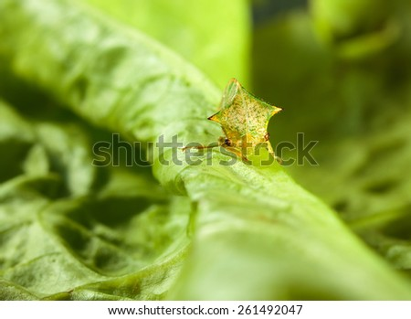 Macro of spire cicada (Hemiptera) on Lactuca sativa leaf, low point of view - stock photo