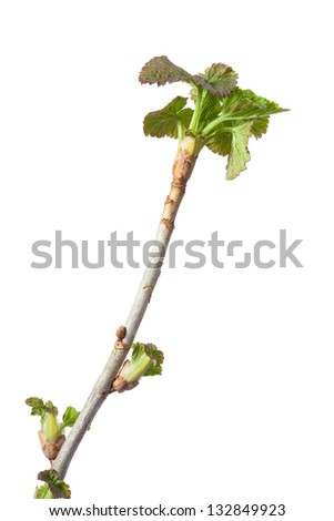 Macro of springtime black currant (Ribes nigrum) brunch isolated on white - stock photo