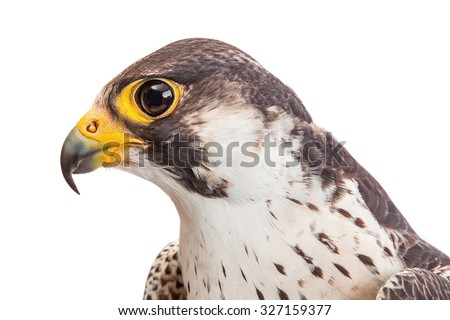 Macro of the head of falcon profile isolated on white - stock photo