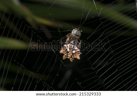 macro of tropical spider with its prey  - stock photo