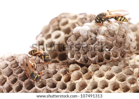 Macro of wasp (Vespula vulgaris) on vespiary isolated on white - stock photo