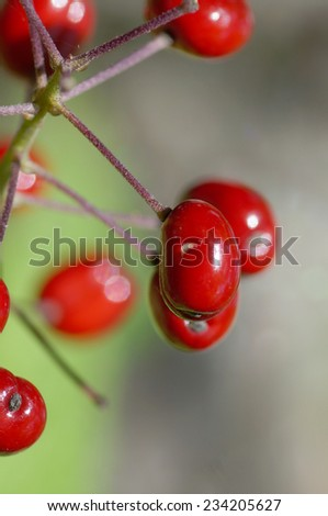 Macro of wild rose-hips fruits on branch - stock photo