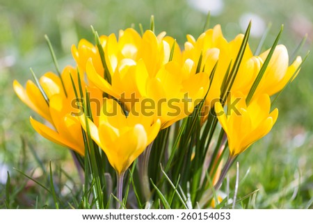 Macro of yellow crocus in spring - stock photo