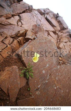 macro one yellow flower on brown stones Sayan Mountains early summer morning - stock photo