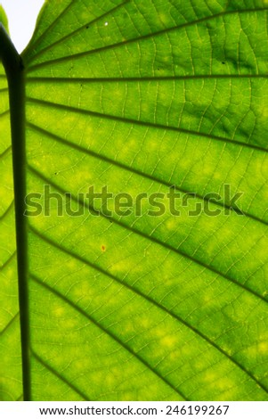 Macro or close up of a green leaf showing the texture and patterns of nature - stock photo