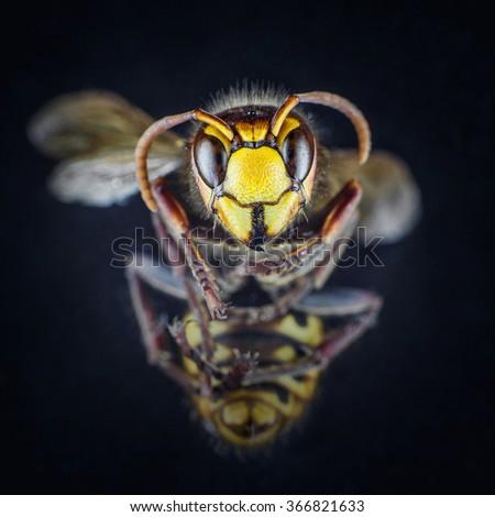 Macro photo from a yellow bee - stock photo