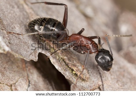 Macro photo of a Carpenter ant, Camponotus herculeanus, this ant is a major pest on houses - stock photo