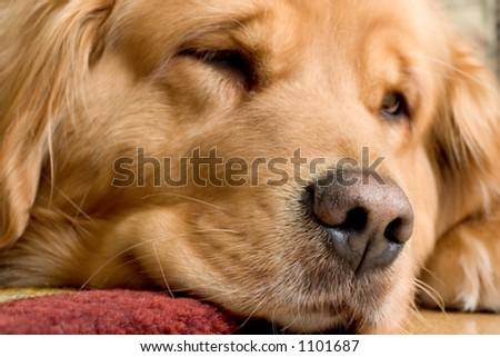 Macro photo of a very beautiful golden retriever - stock photo