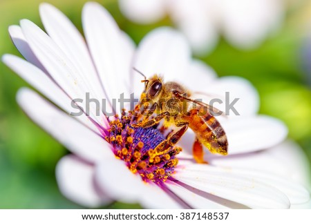 Macro photo of beautiful bee sitting on white gentle daisy, little honeybee collects pollen from flowers, awakening of nature from winter - stock photo