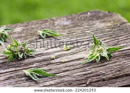 Macro photo of fresh marijuana bud on grunge wooden desk. Selective focus. Color toned image. Copy space. Selective focus. - stock photo