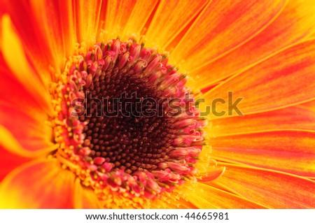 Macro photo of gerber flower - stock photo