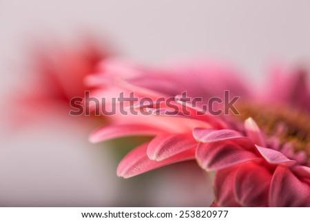 Macro photo of gerbera flower  - stock photo